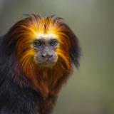 Golden-Headed Lion Tamarin (Leontopithecus Chrysomelas) Captive Portrait Photographic Print by Juan Carlos Munoz