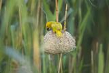 Male African Golden Weaver (Ploceus Subaureus) Tending to its Nest in Reedbeds Photographic Print by Neil Aldridge