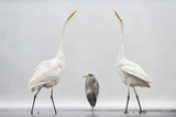 Two Great Egrets (Ardea Alba) Standing Opposite Each Other with Grey Heron (Ardea Cinerea) Photographic Print by Bence Mate