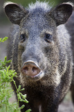 Collared Peccary (Pecari Tajacu) Laredo Borderlands, Texas, USA. April Photographic Print by Claudio Contreras