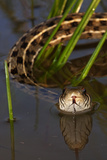 Checkered Garter Snake (Thamnophis Marcianus) Laredo Borderlands, Texas, USA. April Photographic Print by Claudio Contreras