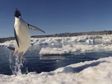Adelie Penguin (Pygoscelis Adeliae) Leaping from Water, Antarctica. Small Reproduction Only Photographic Print by Fred Olivier