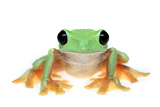 Gliding Tree Frog (Agalychnis Spurrelli) Captive Photographic Print by Edwin Giesbers