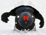 Male Black Grouse (Tetrao - Lyrurus Tetrix) in Snow, Utajarvi, Finland, May Photographic Print by Markus Varesvuo