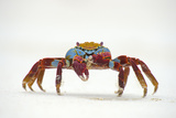 Portrait of Sally Lightfoot Crab (Grapsus Grapsus) on a Beach Photographic Print by Alex Mustard