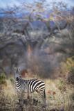 Common or Plains Zebra (Equus Quagga Burchelli) Grazing in Bushtarangire National Park Photographic Print by Cheryl-Samantha Owen