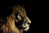 Lion (Panthera Leo) Male with Scars Photographed with Side-Lit Spot Light at Night Fotodruck von Wim van den Heever