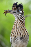 Greater Roadrunner (Geococcyx Californianus) with Nuptial Gift Calling Mate Reproduction photographique par Claudio Contreras
