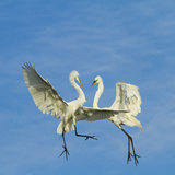 Great Egrets (Ardea Alba) Territorial Dispute Above Nest Colony Reproduction photographique par Juan Carlos Munoz