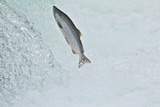 Chinook - King Salmon (Oncorhynchus Tshawytscha) Jumping at Brooks River Falls Photographic Print by Mark Macewen