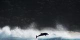 Bottlenosed Dolphin (Tursiops Truncatus) Porpoising During Annual Sardine Run Fotodruck von Wim van den Heever