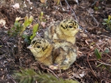 Two Capercaillie (Tetrao Urogallus) Chicks, Vaala, Finland, June Photographic Print by Markus Varesvuo