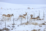 Pronghorns (Antilocapra Americana) Crawling under Fence in Snow During Migration Photographic Print by Gerrit Vyn