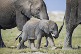 African Elephant (Loxodonta Africana) Baby Trying to Grab the Tail of Adult Photographic Print by Cheryl-Samantha Owen