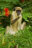 Green Monkey (Cercopithecus Aethiops Sabaeus) in Niokolo Koba National Park Photographic Print by Enrique Lopez-Tapia