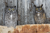 Great Horned Owls (Bubo Virginianus) Roosting in an Abandoned Barn. Idaho, USA. February Photographic Print by Gerrit Vyn