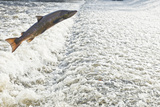 Atlantic Salmon (Salmo Salar) Leaping a Weir, Shrewsbury, River Severn, Shropshire, England, UK Photographic Print by Will Watson