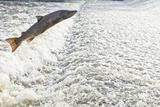 Atlantic Salmon (Salmo Salar) Leaping a Weir, Shrewsbury, River Severn, Shropshire, England, UK Photographic Print by Will Watson