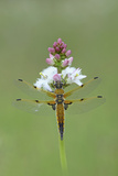 Four Spotted Chaser (Libellula Quardrimaculata) Montiaghs Moss Nnr Photographic Print by Robert Thompson