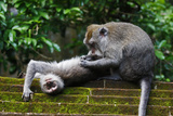 Crab-Eating Macaque (Macaca Fascicularis) Grooming. Bali, Indonesia Photographic Print by Sandesh Kadur