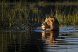Lion (Panthera Leo) Swimming, Okavango Delta, Botswana Fotografisk tryk af Wim van den Heever
