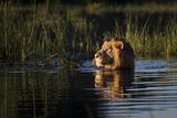 Lion (Panthera Leo) Swimming, Okavango Delta, Botswana Photographic Print by Wim van den Heever