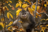Yunnan Snub-Nosed Monkey (Rhinopithecus Bieti) in Tree in Autumn Photographic Print by Xi Zhinong