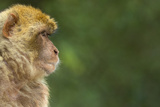 Barbary Macaque (Macaca Sylvanus) Profile, Portrait, Gibraltar Nature Reserve, Gibraltar, June Photographic Print by Edwin Giesbers