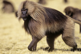 Gelada Baboon (Theropithecus Gelada) Endemic to Ethiopia, Simien National Park, Ethiopia Photographic Print by Elio Della Ferrera