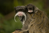 Portrait of an Emperor Tamarin (Saguinus Imperator) Mother with Baby. Captive. Endemic to Peru Photographic Print by Mark Bowler