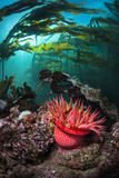 Strawberry Anemone (Utricina Lofotensis) Grows Beneath Bull Kelp Forest (Nereocystis Luetkeana) Photographic Print by Alex Mustard