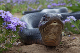 Texas Indigo Snake (Drymarchon Melanurus Erebennus) Close Up Amongst Vervain (Glandularia Sp Photographic Print by Claudio Contreras
