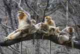 Golden Snub-Nosed Monkey (Rhinopithecus Roxellana Qinlingensis) Family Group Photographic Print by Florian Möllers