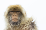 Barbary Macaque (Macaca Sylvanus) Portrait, Gibraltar Nature Reserve, Gibraltar, June Photographic Print by Edwin Giesbers