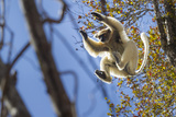 Golden-Crowned Sifaka (Propithecus Tattersalli) Leaping Through Forest Canopy Photographic Print by Nick Garbutt