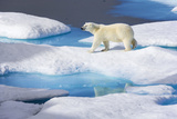 Young Polar Bear (Ursus Maritimus) Walking across Melting Sea Ice Photographic Print by Brent Stephenson