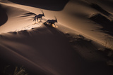 Gemsbok (Oryx Gazella) Two Walking across Sand Dunes, Aerial View. Namibia Photographic Print by Wim van den Heever