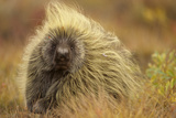 Porcupine (Erethizon Dorsatum) on Tundra. North Slope, Alaska, USA. September Photographic Print by Gerrit Vyn