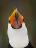 Toco Toucan (Ramphastos Toco) Portrait, Pantanal Brazil Fotodruck von Wim van den Heever