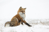 Red Fox (Vulpes Vulpes) Scratching in the Snow, Churchill, Cananda, November Photographic Print by Danny Green