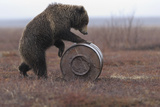 Young Female Kamchatka Brown Bear (Ursus Arctos Beringianus) Playing with Oil Drum Photographic Print by Igor Shpilenok