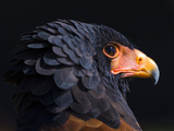 Bateleur Eagle (Terathopius Ecaudatus) Head Portrait, Captive, Occurs in Africa Photographic Print by Juan Carlos Munoz