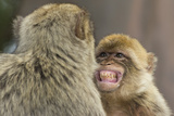 Barbary Macaque (Macaca Sylvanus) Baring Teeth as a Sign of Submission Fotografisk trykk av Edwin Giesbers