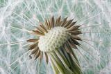 Dandelion (Taraxacum Officinale) Seed Head, Close, Norfolk, England, UK, May Fotografisk tryk af Ernie Janes