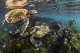 Three Galapagos Green Turtles (Chelonia Mydas Agassizii) Feeding on Seaweed Growing on Lava Rocks Photographic Print by Alex Mustard