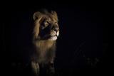 Lion (Panthera Leo) Male in Darkness, Okavango Delta, Botswana Fotografisk tryk af Wim van den Heever
