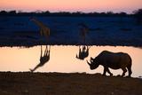Angolan Giraffes (Giraffa Camelopardalis Angolensis) and Black Rhinoceros (Diceros Bicornis) Photographic Print by Eric Baccega