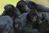 Brown Headed Spider Monkey (Ateles Fusciceps) Group Resting Together Photographic Print by Edwin Giesbers