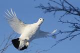 Willow Grouse - Ptarmigan (Lagopus Lagopus) Flying, Inari Kiilopaa, Finland, February Photographic Print by Markus Varesvuo