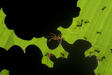 Leafcutter Ants (Atta Sp) Colony Harvesting a Banana Leaf, Costa Rica Photographic Print by Bence Mate